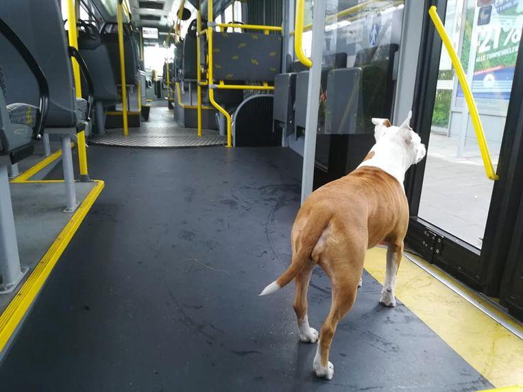 Hond Juna ontsnapt en neemt al tweede keer deze maand de bus | Gent | In de  buurt | HLN