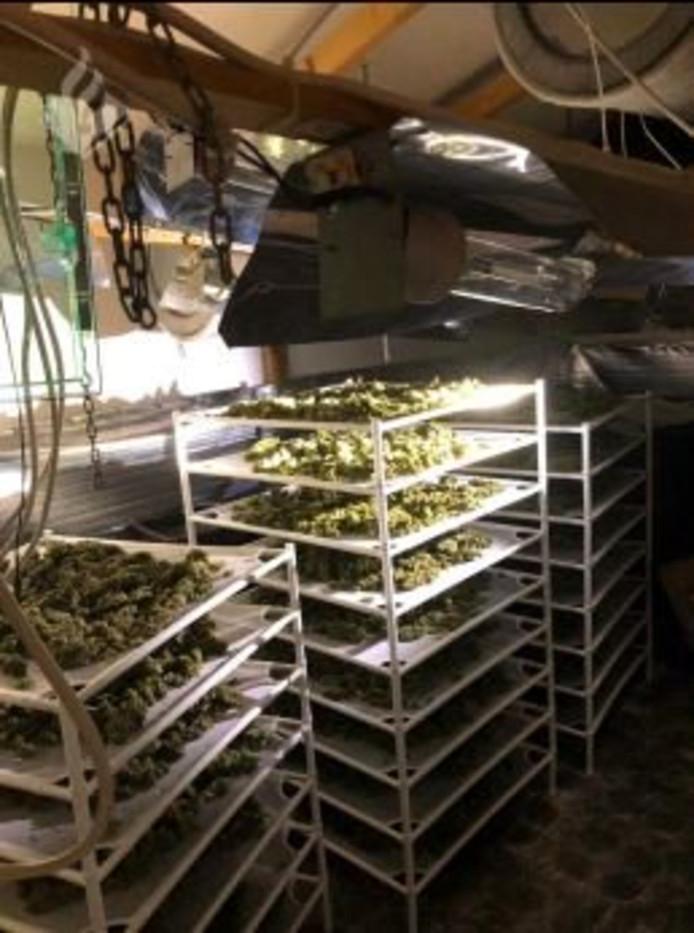 22 droogrekken met henneptoppen  gevonden in Schijndel.