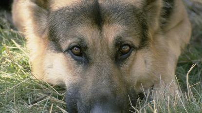 Baasje ziet 'dogsitter' walgelijke seksuele handelingen stellen met zijn Duitse herder