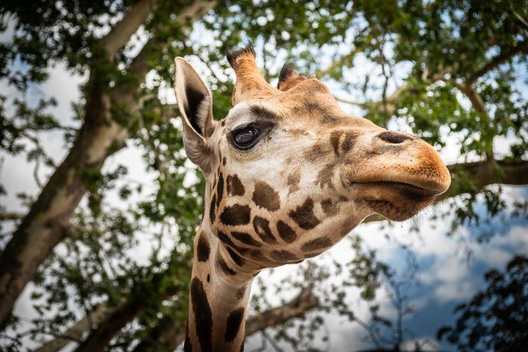 Onder andere giraffen behoren tot de nieuwe dieren die werden toegevoegd aan de lijst met beschermde diersoorten.
