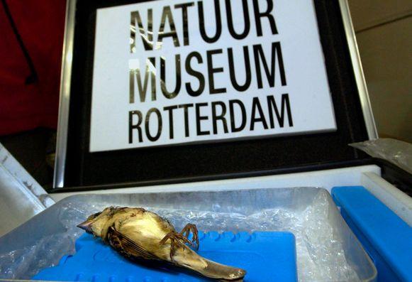 De zogenaamde domino-mus kreeg internationale aandacht toen het diertje werd doodgeschoten in het Expo Centrum in Leeuwarden.