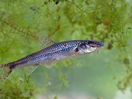 Miljoenen voor nieuwe vispassages in de Linge