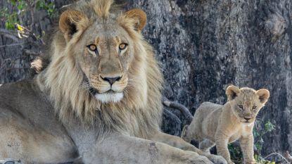 Leeuwenwelpje doodgebeten voor het oog van bezoekers in Nederlands dierenpark