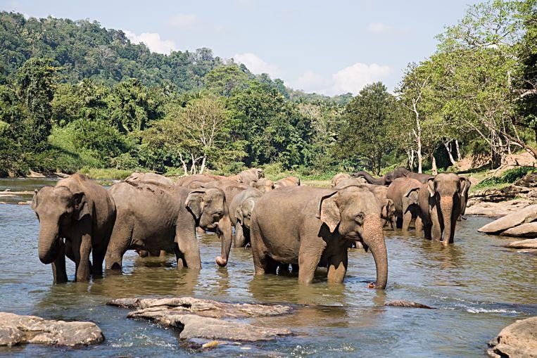 Het is nog lang niet zeker dat de Aziatische olifant het einde van deze eeuw haalt.