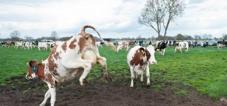 Boeren zetten deuren koeienstal open