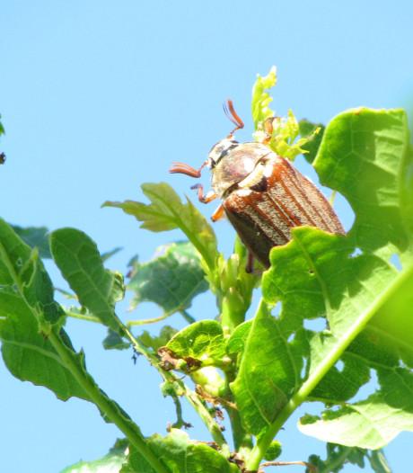 Familie Heideman in Gelselaar vangt recordaantal meikevers