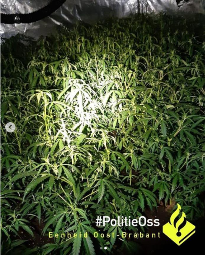 550 hennepplanten in huis gevonden in Oss
