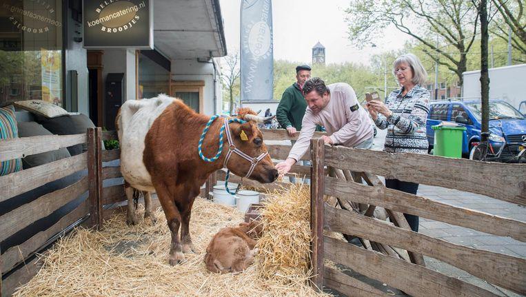 Bij het 150 jarige jubileum zette broodjeszaak Koeman als stunt een koe voor de winkel Beeld Charlotte Odijk