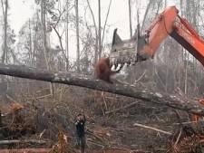 BBC-kijkers geschokt na zien van hopeloze strijd orang-oetan tegen graafmachine