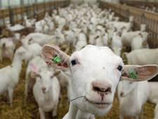 De Mèkkerstee begrijpt weinig van de ophef over geiten