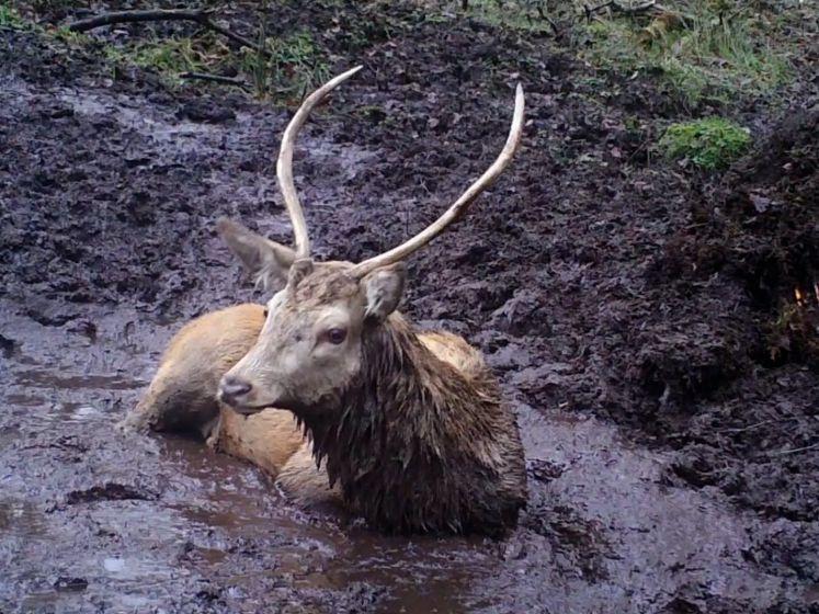 Wildcamera vangt hilarische beelden van herten die ravotten in modder