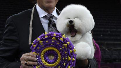 De prijs voor meest geföhnde hond gaat naar... (en andere opgesmukte viervoeters)