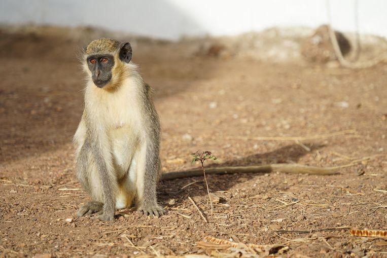 Julia Fischer Beeld De geelgroene meerkat in Senegal.