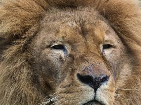 Leeuw Dukat overleden in DierenPark Amersfoort