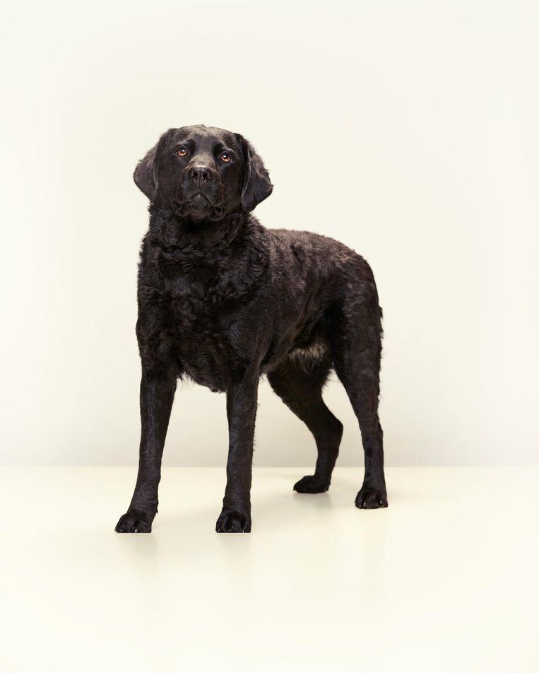 Diede (3) uit Haaksbergen is een bewuste kruising tussen een wetterhoun en een labrador. Beeld jeroen hofman