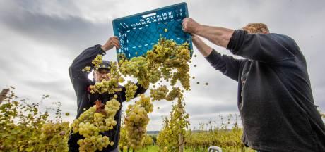 De niet te stuiten opmars van Nederlandse wijn