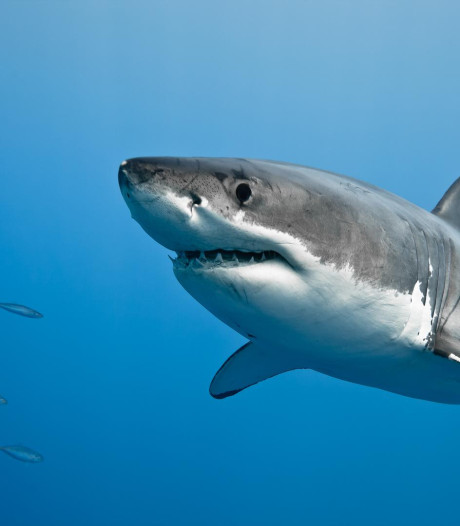 Australische zwemmer botst tegen haai op: Ik bleef slaan tot hij losliet