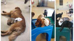 Hond pikt elke dag opnieuw de allerzachtste viervoeter uit om dutjes op te doen