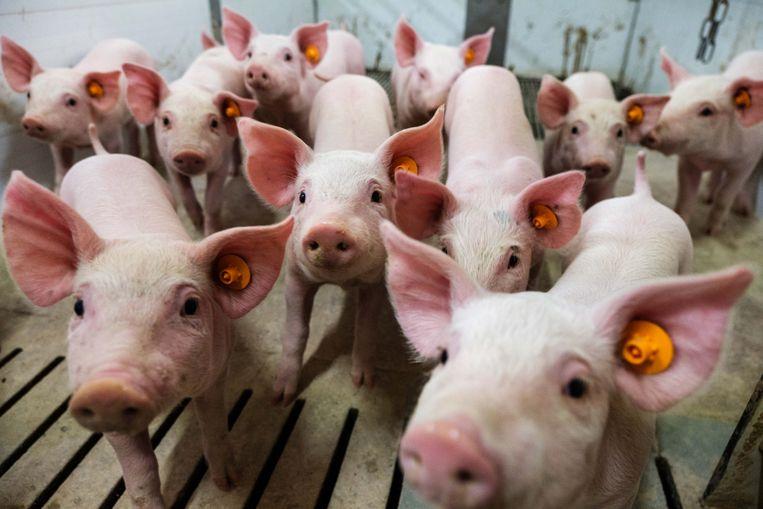 De varkens (op foto niet de zeven geredde varkens) zakten door de betonnen stalvloer.
