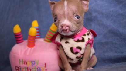 Puppy met hazenlip verovert hart dierenarts: