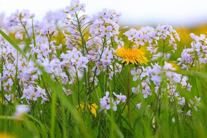 natuurmonumenten zet in de wieden bedreigde wilde bloemen in de