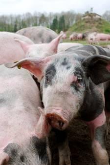 Dreiging pest brengt 100 weidevarkens in Baarschot versneld naar de slacht