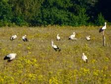 Waarom zitten de weilanden opeens vol met ooievaars? Dat komt door de zomer