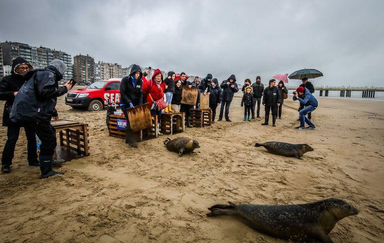 Blankenberge vrijlating 4 zeehondenpups