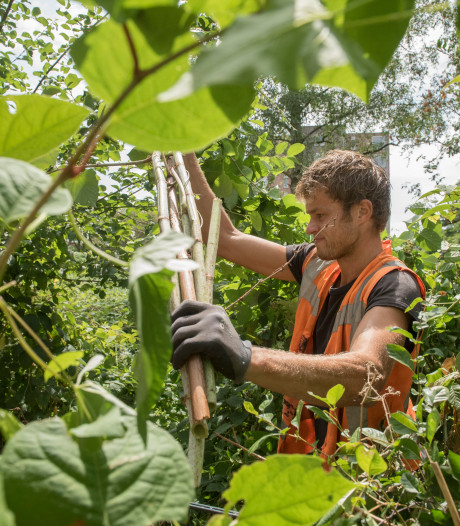Aanvalsplan tegen woekerplant: 'Anders kost het miljoenen'
