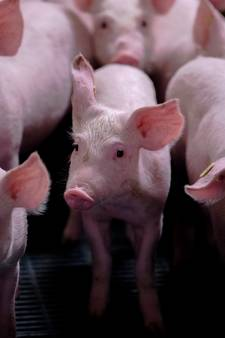 Oproep aan varkenshouders: dien planschade in