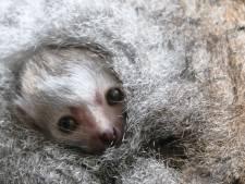 Kroonmaki Amalia is bevallen van tweeling in DierenPark Amersfoort