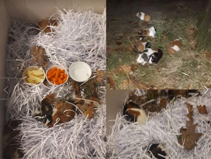 Zo trof de politie de vijftien gedumpte cavia's aan in de berm bij Wesepe.