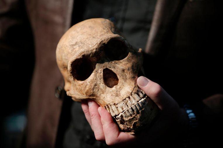 Een replica van de schedel van de Homo Naledi Beeld afp