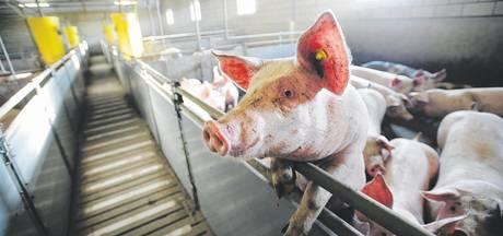 Veghelse varkenshouder bestraft voor verwaarlozing dieren
