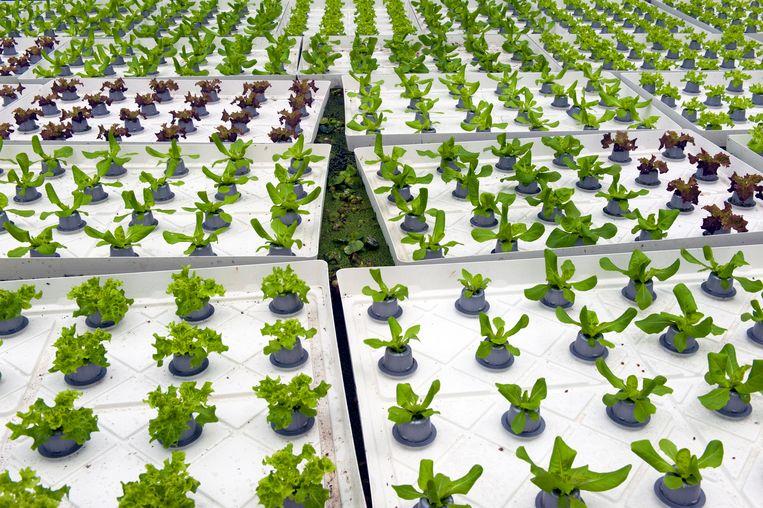 In Rotterdam worden tilapia, meerval en bladgroenten samen gekweekt in een aquaponicssysteem. Beeld Hollands Hoogte