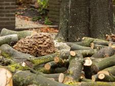 Reuzenzwam vreet beukenboom in Baarn op