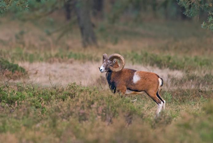Rond het Nationale Park de Hoge Veluwe zijn hekken geplaatst om de exotische moeflon te beschermen tegen de inheemse wolf.