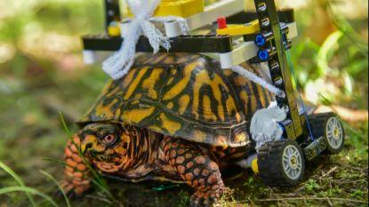 Gewonde schildpad krijgt rolstoel... van Legoblokjes