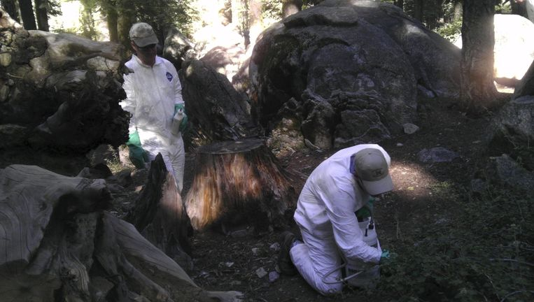 Experts gaan de vlooien te lijf in het Yosemite National Park.