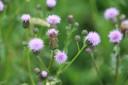 (Cirsium arvense) Akkerdistel