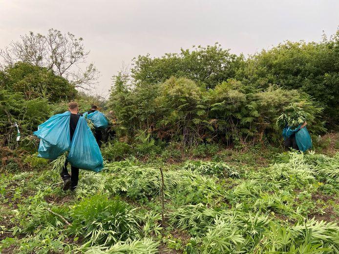 Agenten ruimen de wietplanten in het natuurgebied op.