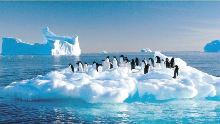 Adéliepinguïns op een ijsschot bij Antartica. Foto: afp Beeld