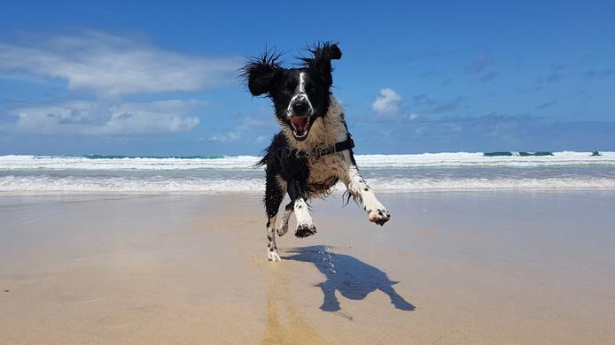 Harvey geniet met volle teugen op het strand van Cornwall.