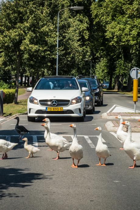 Groep ganzen zorgt steeds vaker voor overlast bij vesting van Elburg
