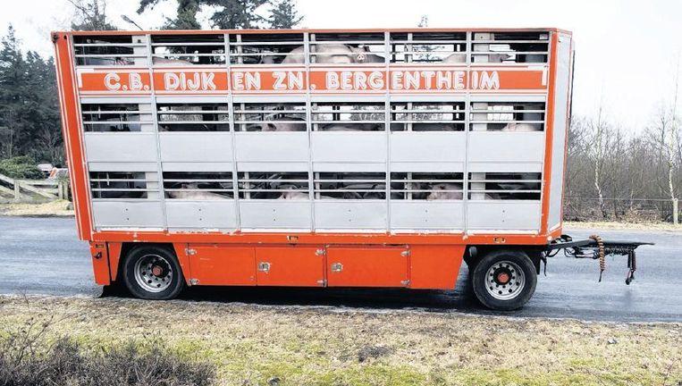 Dierentransporten maken duidelijk dat het welzijn van de dieren geen prioriteit heeft. Beeld Herman Engbers