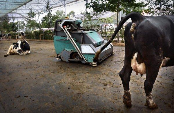 Minister dreigt met inkrimping veestapel, terwijl veehouderij (nog) aan stikstofnorm voldoet