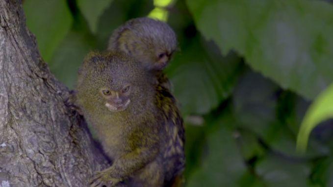 Kleinste aapje ter wereld krijgt baby van amper 15 gram