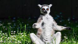 """Tiener geeft toe lemuur uit dierentuin gestolen te hebben: """"Ik wilde hem als huisdier"""""""