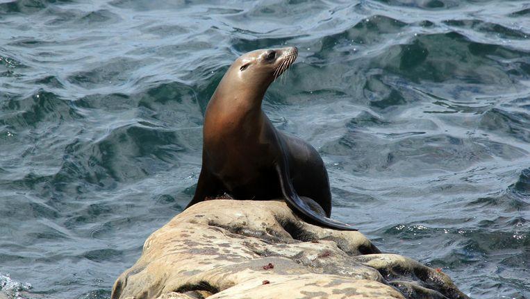 Een Californische zeeleeuw.