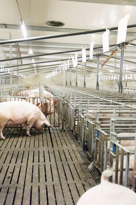 Minister Schouten verslikt zich in stikstofmaatregel: opkopen varkensbedrijven levert veel minder op